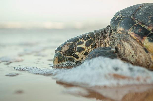 Recorde em desovas de tartaruga-de-pente no Rio Grande do Norte