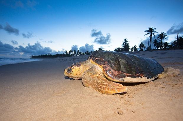 Guia orientará licenciamento em áreas de tartaruga marinha