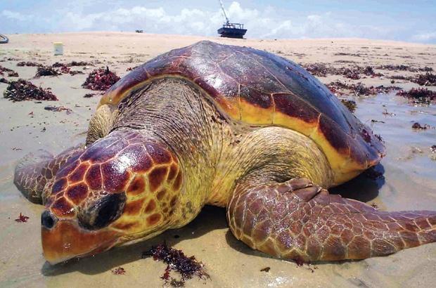 Tartaruga marinha capturada na pesca no Ceará é vista desovando no México