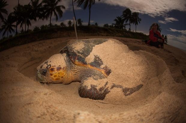 Aberta nova temporada reprodutiva das tartarugas marinhas no Brasil