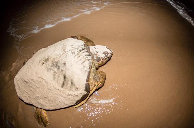 A vida em nova temporada: tartarugas marinhas voltam às praias brasileiras para a reprodução