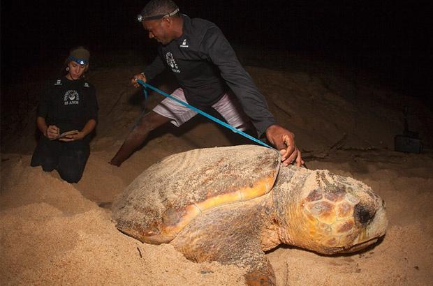 Resultados da temporada de desovas no continente surpreendem pelo aumento de ninhos de tartaruga-cabeçuda