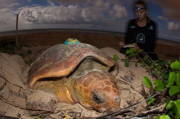Tartaruga marinha acompanhada por oito anos é aguardada para desovar nesta temporada