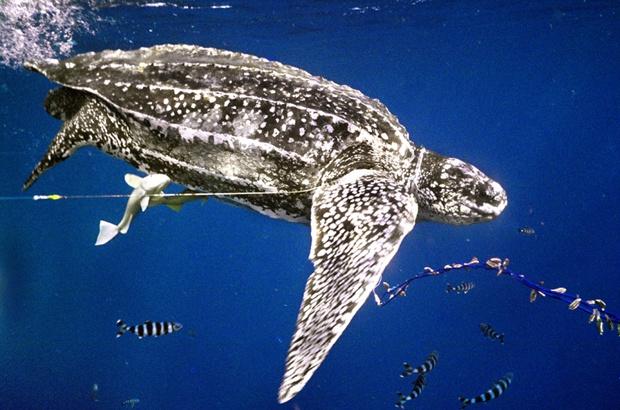 Comissão do atum recomendará melhores práticas para interação com tartarugas