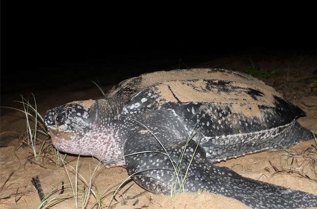 Pesquisa busca mais informações sobre as tartarugas-de-couro no Brasil