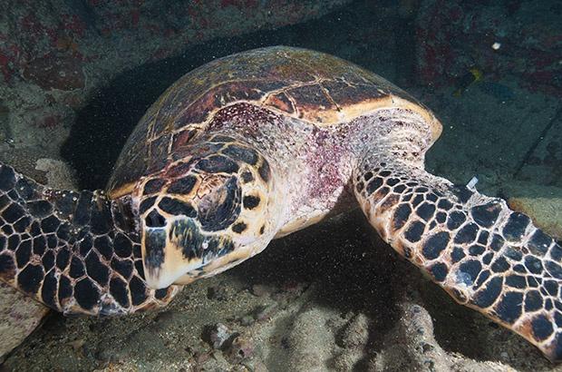 Identificadas recapturas internacionais de tartarugas de pente marcadas no Brasil