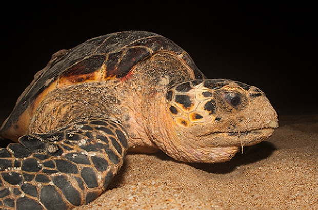 Tartarugas marinhas são consideradas sentinelas do clima no planeta