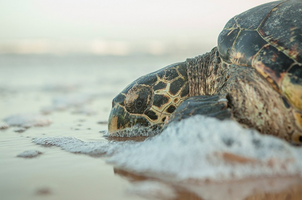 Tartaruga-de-pente viaja maior distância já registrada no Brasil para a espécie