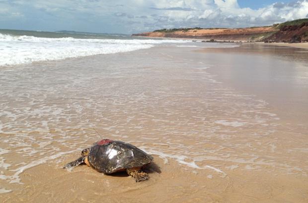 Estudo revela rotas migratórias das tartarugas-de-pente