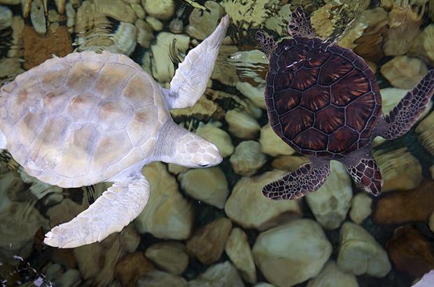 Tartaruga despigmentada já pode receber visitas no Projeto TAMAR Praia do Forte