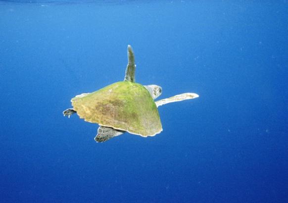 Pesquisa traz um panorama sobre captura incidental de tartarugas pela frota de arrasto no sudeste