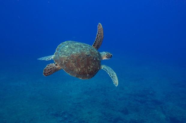 Inicia temporada reprodutiva das tartarugas marinhas em Fernando de Noronha