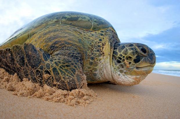 Levantamento de tartarugas capturadas pela pesca revelam cinco esp�cies no Cear�