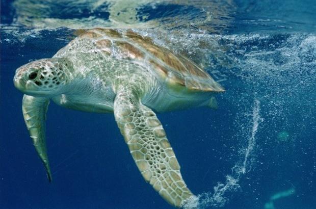 Aumenta proteção às tartarugas marinhas