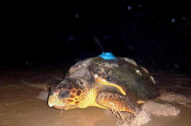 Dados por satélite revelam rotas migratórias de tartarugas marinhas
