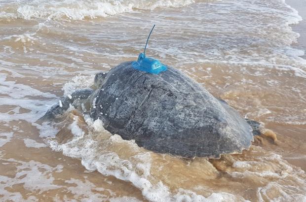Pesquisa acompanha tartarugas marinhas por satélite em Sergipe