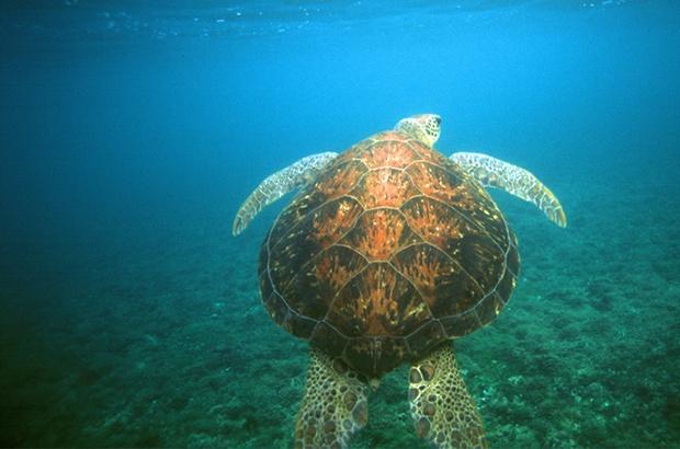 Berço privilegiado para as tartarugas verdes no meio do Atlântico