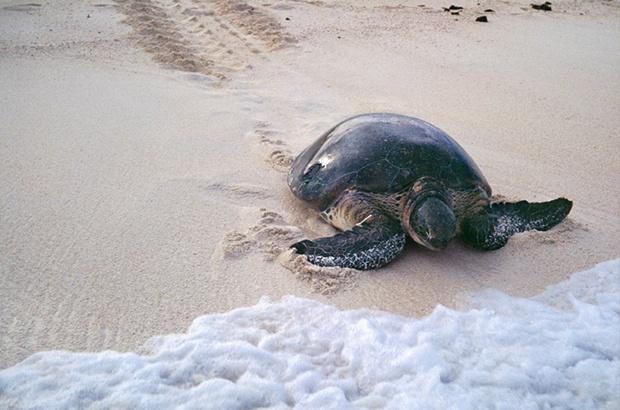 Tamar fecha balanço da temporada reprodutiva nas ilhas oceânicas