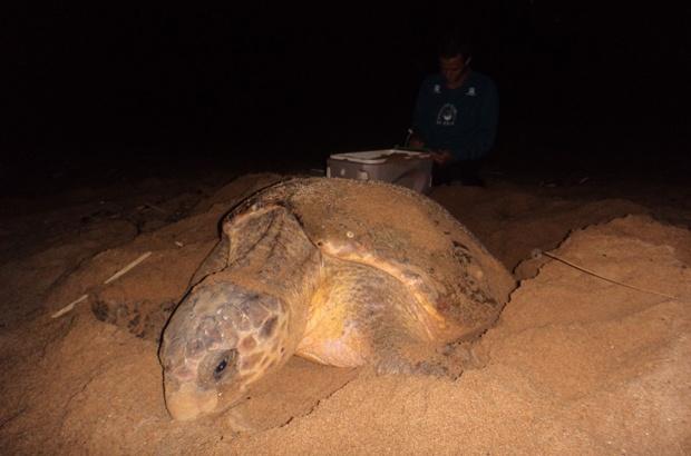 Tartaruga marinha retorna à mesma praia brasileira há 32 anos