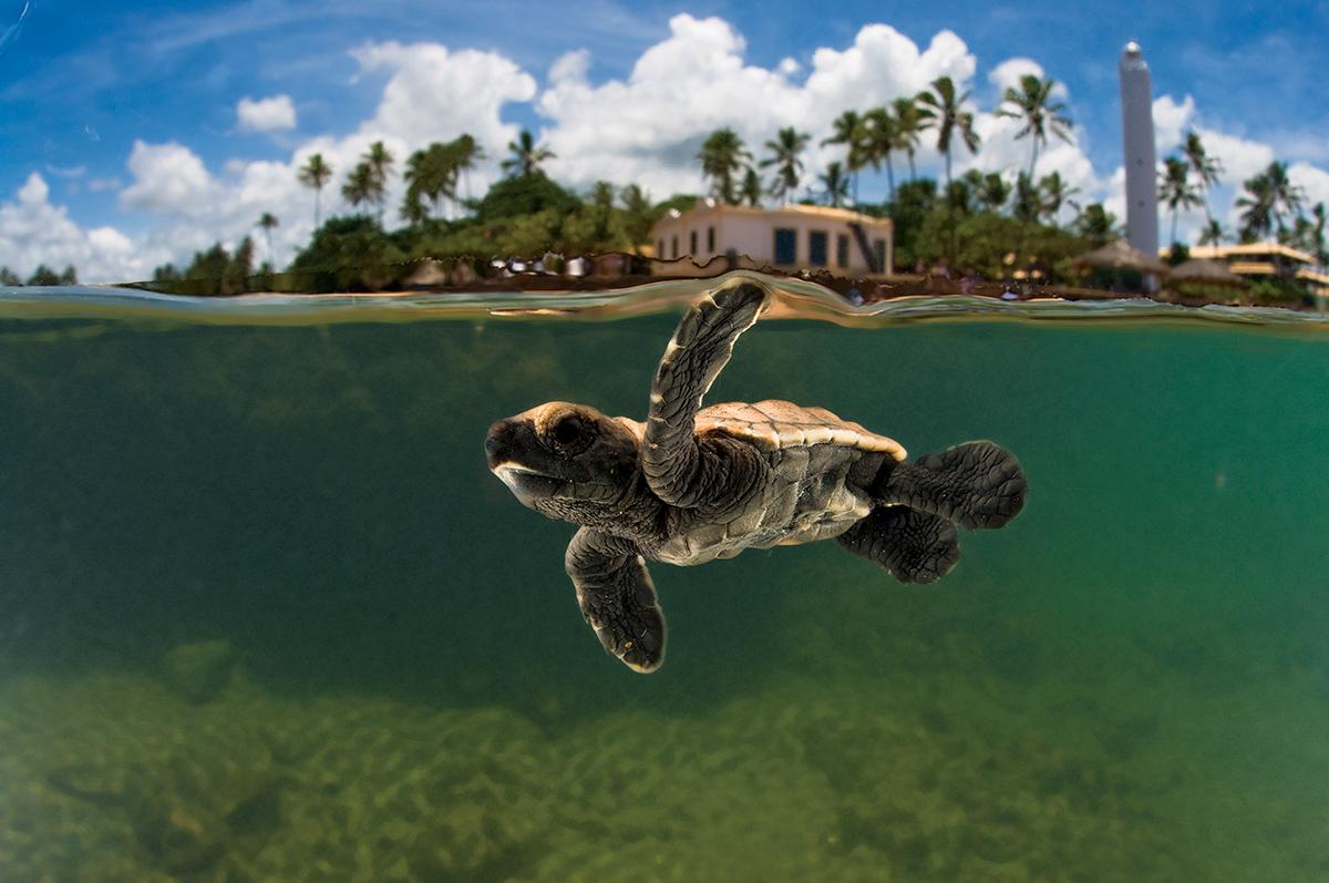 Image result for tartaruga indo em direção ao mar tamar