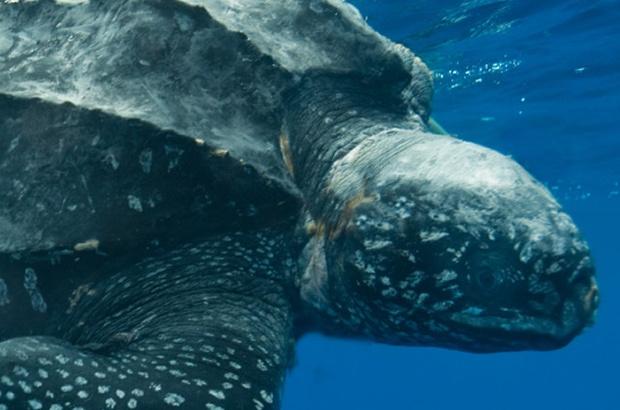 Reunião nacional de pesquisadores discute a conservação das tartarugas marinhas