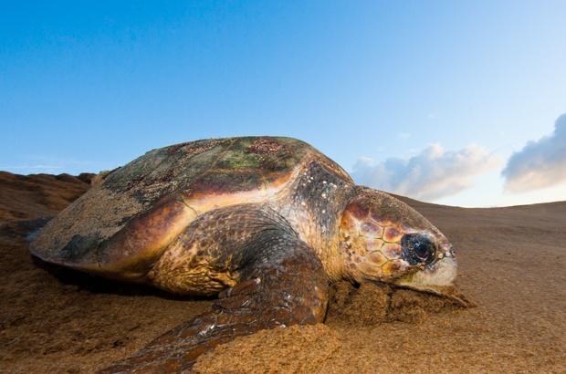 16 de junho é dia internacional da tartaruga marinha. Você sabe por que?