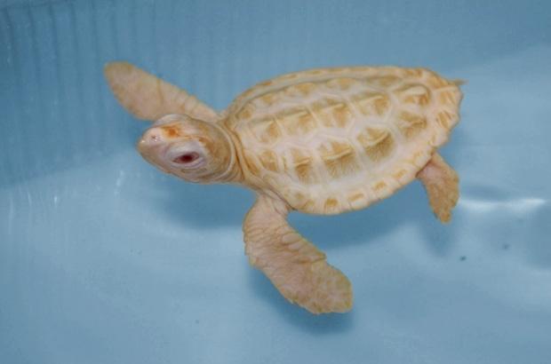 Visitantes já podem conhecer filhotes albinos de tartaruga marinha em Ubatuba