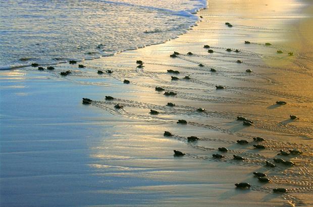 Pesquisa identifica praias com alta produção de machos de tartaruga-cabeçuda no Atlântico Sul