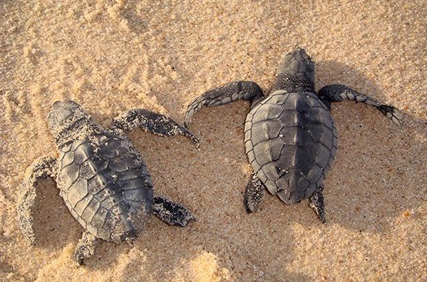 O hibridismo entre tartarugas-cabeçuda e tartarugas-oliva no nordeste brasileiro por Luciano Soares