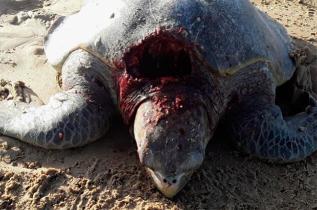 Tartarugas marinhas são atacadas por cães no litoral de Sergipe
