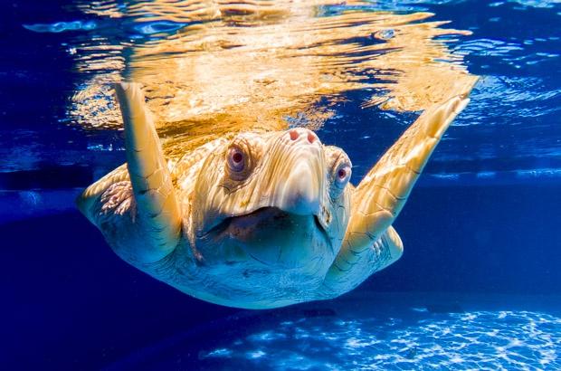 Tartarugas Marinhas Albinas