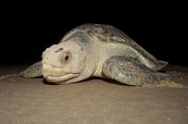 Conheça o estudo que revelou diferenças na alimentação e habitat de tartarugas-oliva que desovam em Sergipe