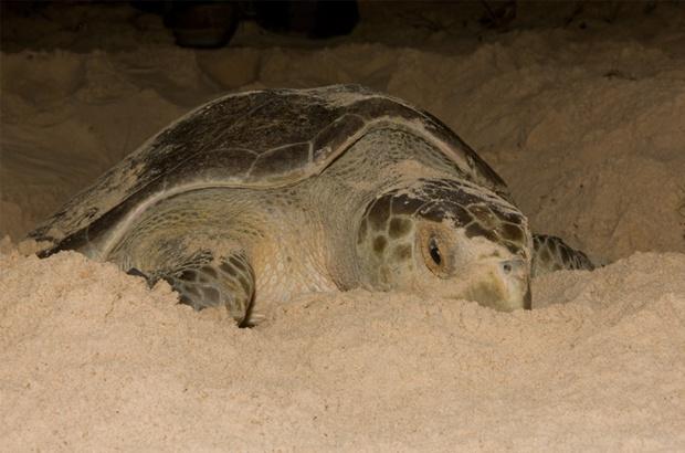 Padrões reprodutivos da tartaruga-oliva mostram mais desovas da espécie no Brasil