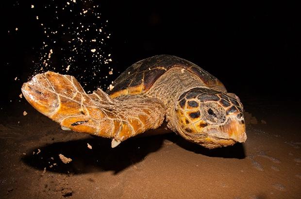 Projeto Tamar inicia o monitoramento de sua 39ª temporada reprodutiva das tartarugas marinhas