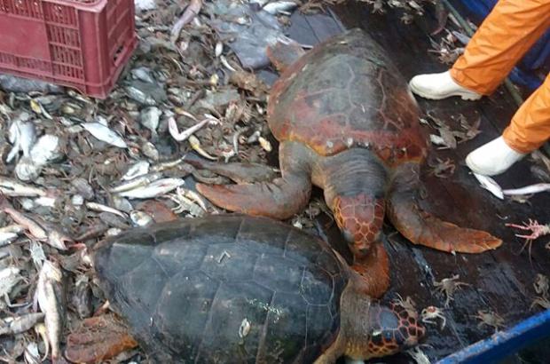 Estudo recém-publicado traz novas informações sobre o impacto da pesca de arrasto de fundo sobre as tartarugas marinhas no sudeste do Brasil