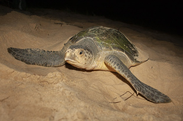 Temporada reprodutiva de tartaruga-oliva no Brasil anima pesquisadores do Projeto Tamar