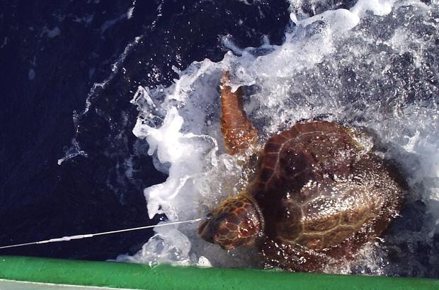 Estudo avalia pescarias de espinhel pelágico que capturam tartarugas incidentalmente