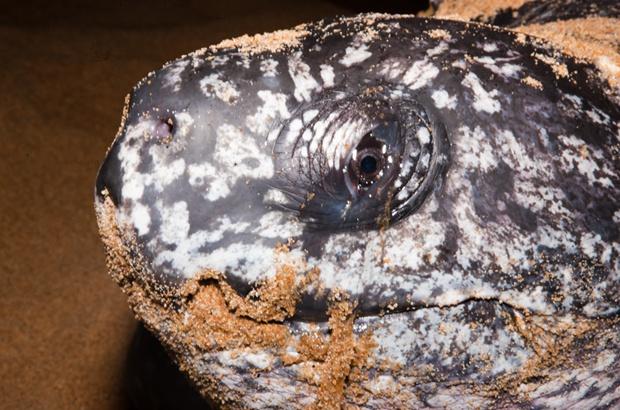Tartaruga-de-couro segue transmitindo sinais via satélite