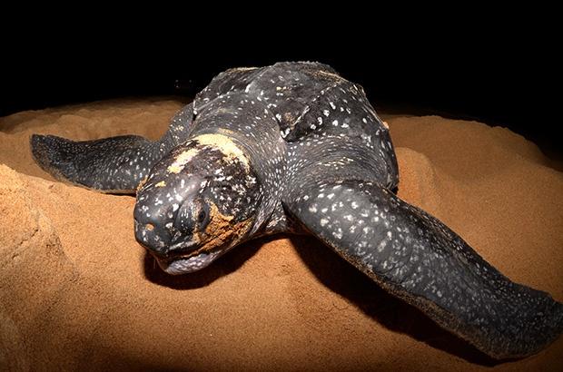 População de tartarugas-de-couro do Brasil mostra sinais de recuperação