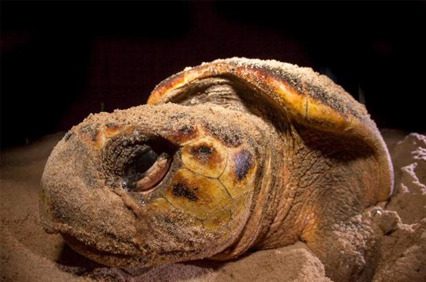 Começa temporada 2018-19 de reprodução das tartarugas marinhas no Brasil