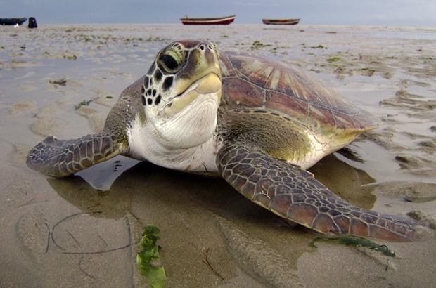 Ameaças às tartarugas marinhas estudadas em quatro estados brasileiros